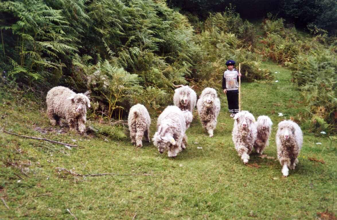 c16798ff6c3f Photo France   Pyrénées - chèvres angora