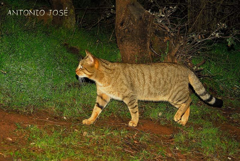 El Gato Montes mamífer.. Animales -