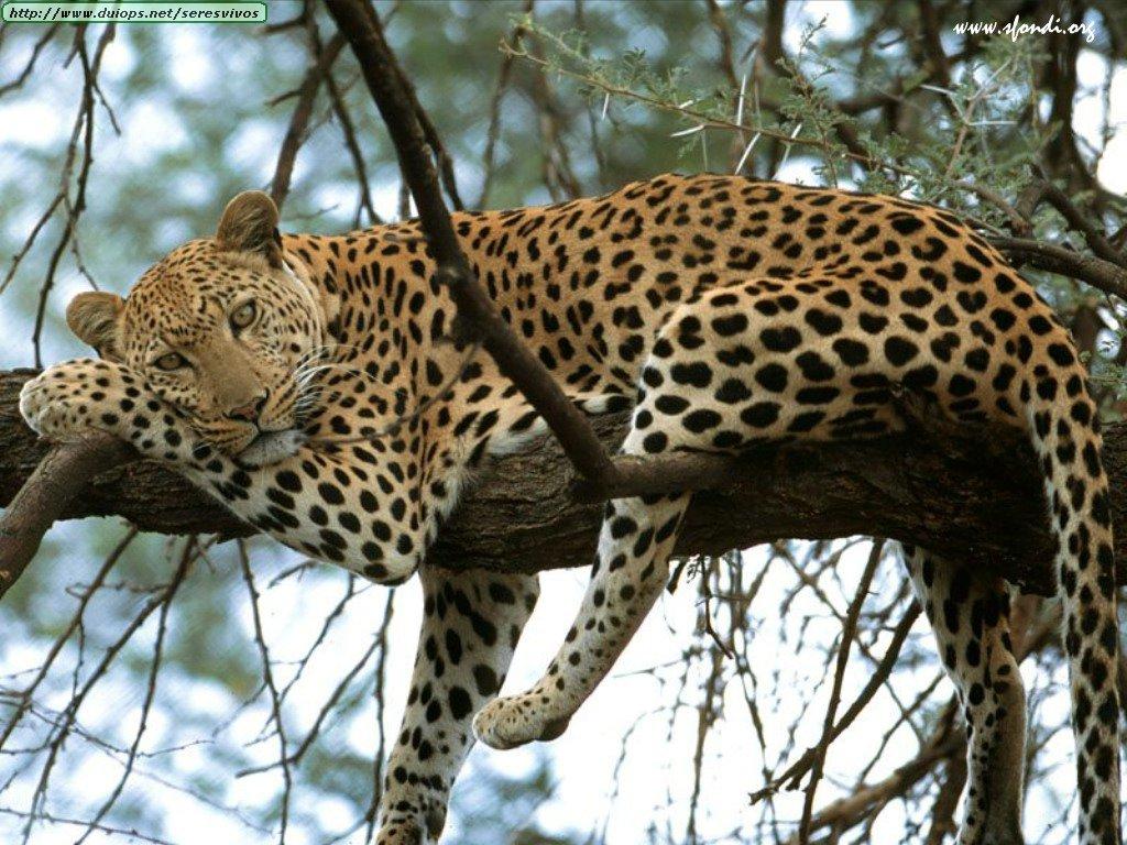 El Leopardo El leopard.. Animales -