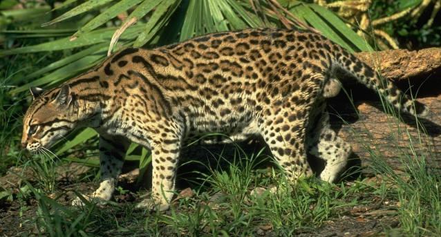 El Oncelote mamífero p.. Animales -
