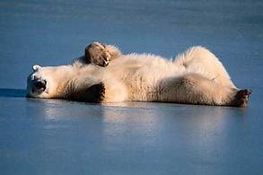 El Oso Polar El oso po.. Animales -