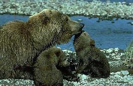 El Oso Pardo Los osos .. Animales -