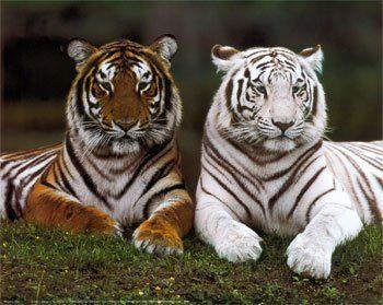 El tigre nombre común .. Animales -