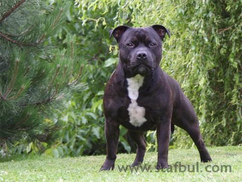 stafordshire bull terrier