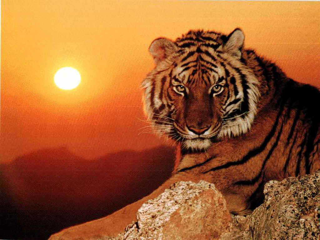 """Je ne suis pas un animal"" 6054_tigre%20o%20soleil"