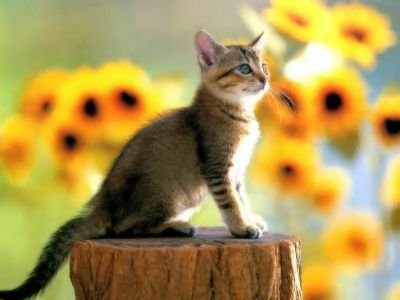 Liste Animaux et Significations  8682_chat