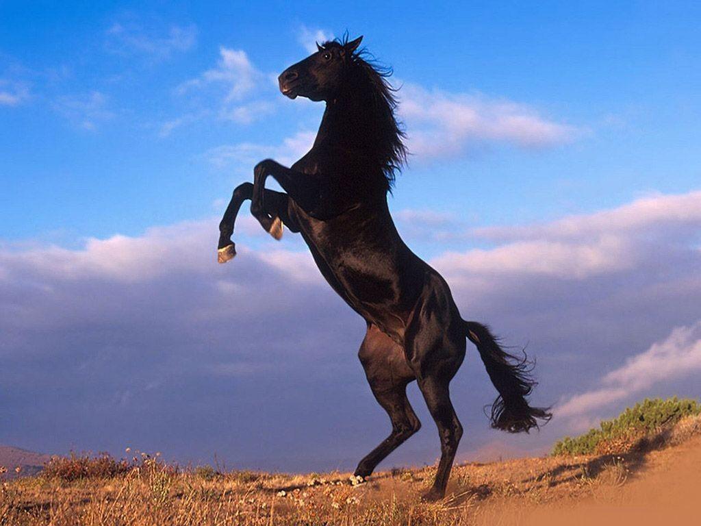 24185_Stallion.JPG