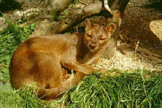 animal malgache tenrec
